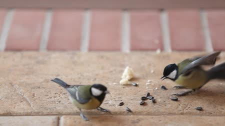 battle for seeds. Several large tits fly up to a bunch of sunflower seeds on the floor take one at a time and fly away. Two tits began to fight.