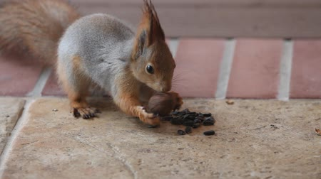 How to recognize a bad walnut. A beautiful gray squirrel found a walnut on the floor. I twisted it in my paws and put it in its place