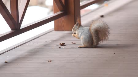 wiewiórka : beautiful gray squirrel with long fluffy ears sits on the floor of the veranda and gnaws half a walnut