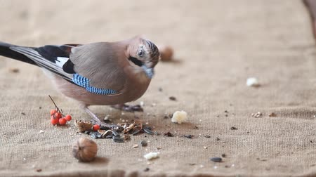 bird sorts out different foods. A beautiful jay put away a walnut and a piece of bread and began pecking sunflower seeds