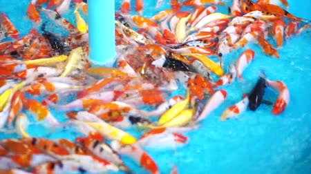 золотая рыбка : cleaning carp fish selling pit. Small koi in clean water at the market