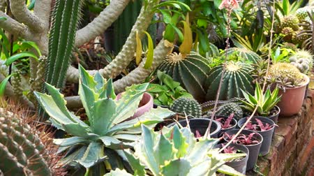 kaktusz : The Garden of Cactus & Succulent plant
