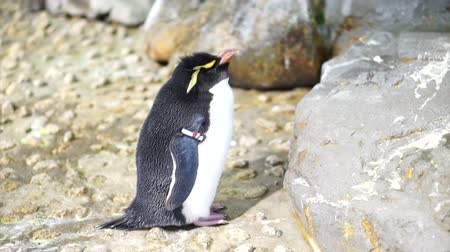 pinguim : Small cute penguin standing around the rock. Erect Crested Penguin.