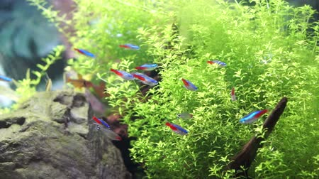 akvaryum : Aquarium with tropical colourful fish Stok Video