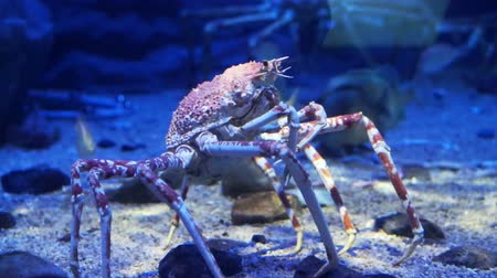 краб : King Crab at aquarium ocean dark blue bottom