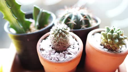 kaktusz : Cactus sprout in pots nursery decorative small botany garden