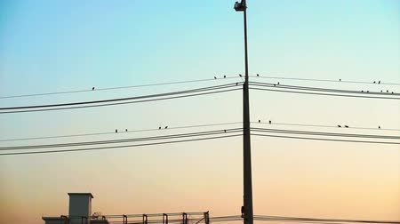 kable : Vertical electric pole and flock of birds sitting on horizontal wires with colourful sky sunset Wideo
