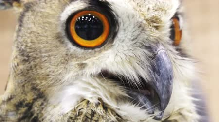 olhos castanhos : Close up shot of an Eurasian eagle owl looking around