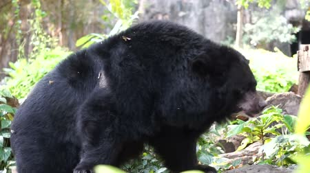 snoot : Asian black bear with white V shape fur at chest Stock Footage