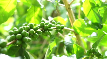 vagens : Green coffee cherries beans on a coffee tree branch in organic farm