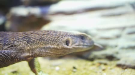 prowl : Savannah monotor lizard sticking its tongue out Stock Footage