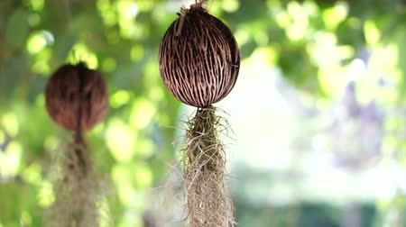 apocynaceae : Cerbera odollam seed with hanging root. Creative tropical garden decoration
