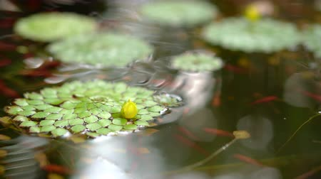 lilyum : 4K shot of beautiful special species of geometric water lilies leaf floating in pond with small fish swimming under