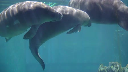 sea play : Manatees, sea cows swimming under blue water aquarium Stock Footage