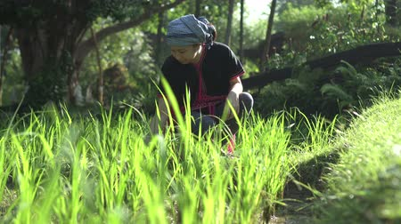 south asian food : South East Asian ethnic woman with organic rice field in morning sun Stock Footage
