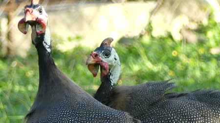gine : Chicken Guineafowl Guineahen in green nature field 4k