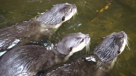 běžný : Otters Playing In Group 4K