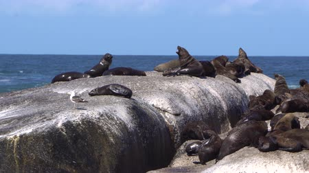 колония : Seal Island Watching Trip In South Africa Travel Стоковые видеозаписи