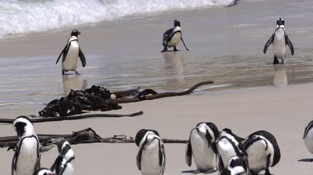 pinguim : South Africa Native Penguin Swim And Walk Up On Beach From Sea