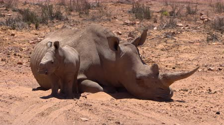 hoorn : Zuid-Afrika White Rhino Baby Big Five Animal