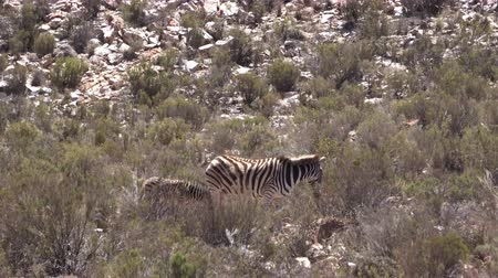 savana : Zebra And Its Calf Eating Grass In Dry Heat Field