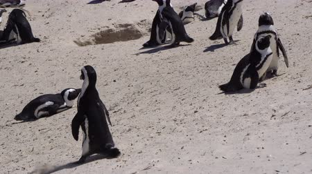 endangered species : Tiny Cute African Penguins Colony At Boulders Beach South Africa Stock Footage