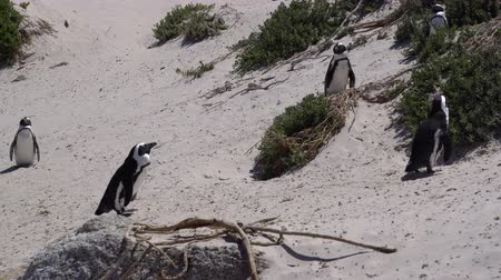 колония : Tiny Cute African Penguins Colony At Boulders Beach South Africa Стоковые видеозаписи