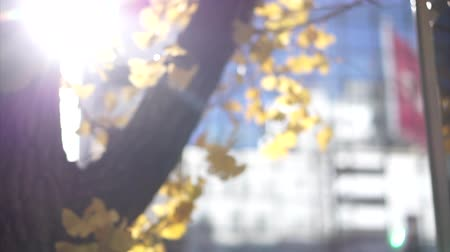 maidenhair : Blur Windy Autumn Day Yellow Ginkgo Tree In Urban City Building Scene Stock Footage