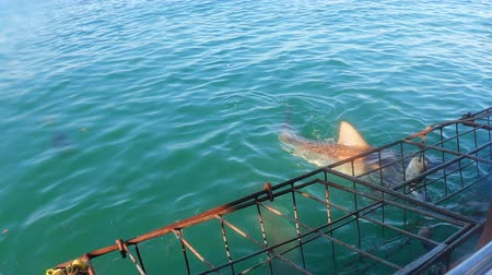 deneyim : Baiting Shark Cage Diving On Top View Stok Video