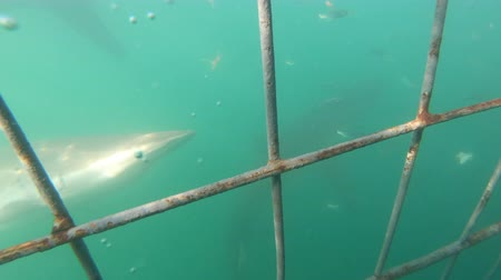 combinaison plongée : Shark Cage Diving View On And Underwater Afrique du Sud