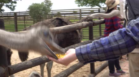 avestruz : Hand Feeding Ostrich At Farm Video