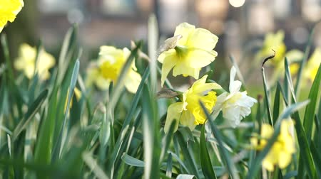 narciso : Beautiful Yellow Daffodils Flower In Amsterdam Slow Motion Stock Footage