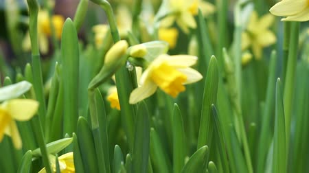 żonkile : Beautiful Yellow Daffodils Flower In Amsterdam Slow Motion Wideo