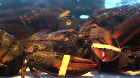 lagosta : Alive Canadian Lobster In Cold Saltwater Tank