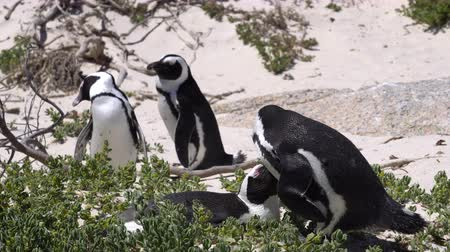 pinguim : South African Penguin Couple Play At Nest In Boulder Beach Close Up Video Motion Stock Footage