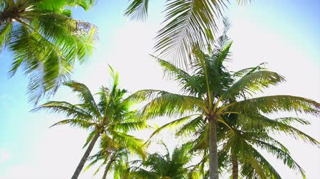 palmtree : Palm coconut trees tropical sky background low angle spin camera slow motion Stock Footage