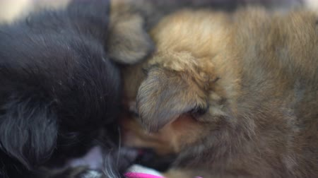 sucking : Small puppies eating feeding mother dog milk Stock Footage