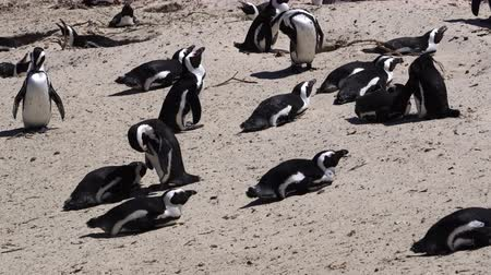pinguim : Penguins colony at South Africa beach Stock Footage
