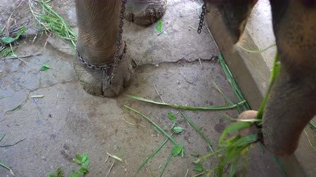 restraint : Chained elephant in Thailand tourist industry Stock Footage