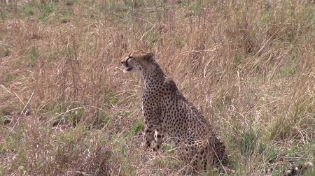 gepard : Sitted cheetah in the savannah looking for a prey Wideo
