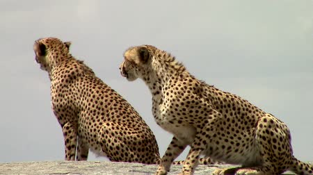 small group of animals : Two cheetahs on a big rock in the Savannah