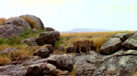 câmara : Cheetah walking among rocks in the savannah Stock Footage