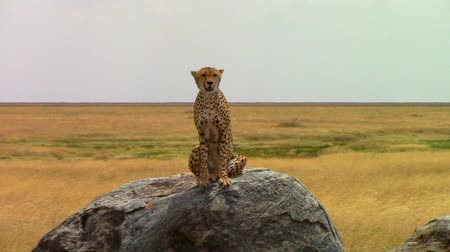 gepard : Cheetah on a rock looking around in the savannah