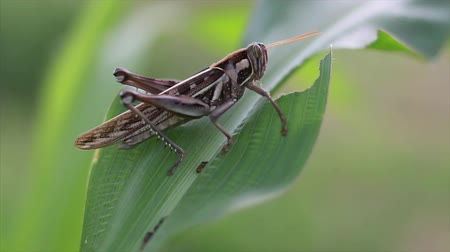 gafanhoto : Grasshopper eating corn