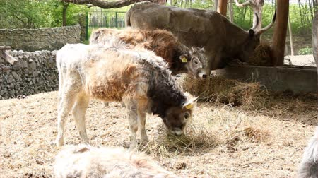 primigenius : farm scene with podolian calf and cow Stock Footage