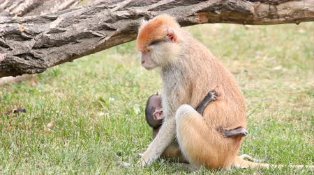 animal jovem : mother monkey holding her baby Stock Footage