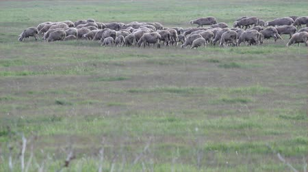 koyun : sheep in pasture