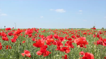 otlak : meadow with poppy flowers Stok Video