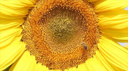 girasoles : abeja Archivo de Video