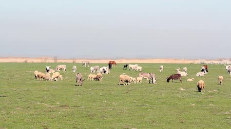 domestic animals : farm animals on pasture